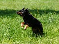 PIC15308-G81 (daniele.hauenstein) Tags: hund hovawart