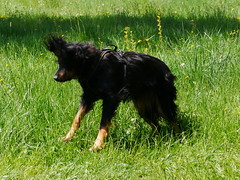 PIC15309-G81 (daniele.hauenstein) Tags: hund hovawart