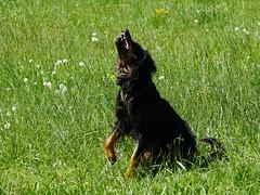PIC15313-G81 (daniele.hauenstein) Tags: hund hovawart