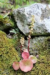 Umbilicus rupestris (just.Luc) Tags: flower bloem fleur blume fiore flor plant plante pflanz flora nature natuur rock rots rocher mos moss mousse moos muschio
