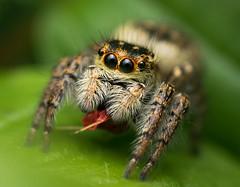 jumping spider (Remosone) Tags: jumpingspider spider carrhotus macrophotography macro nature nikon d5300 dof naturephoto wildlife sigma 105mm28