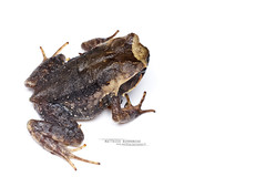 Megophrys baluensis (Matthieu Berroneau) Tags: amphibien anoure trip blanc fond bornéo megophrys baluensis white fondblanc highkey high key hybrid textbook fondo blanco fondoblanco megophrysbaluensis kinabalu horned frog kinabaluhornedfrog toad amphibian sony alpha ff 24x36 macro nature wildlife animal fe 90 f28 g oss fe90f28macrogoss sonya7iii sonya7mk3 sonyalpha7mark3 sonyalpha7iii a7iii 7iii 7mk3 sonyilce7m3 sonyfesonyfe2890macrogoss objectifsony90mmf28macrofe sel90m28g herp herping malaysia malaisie borneo endemic endémique