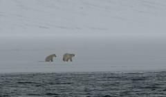 Let's Go (MrBlackSun) Tags: polar polarbear svalbard spitsbergen nature landscape arctic northpole nikon d850 nikond850 naturephotography landscapephotography