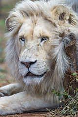 Pretty white lion II