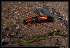 Paederus littoralis (cquintin) Tags: arthropoda coleoptera staphylinidae paederus littoralis