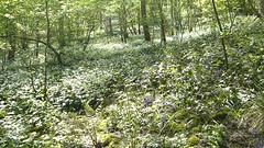 2019054ymd Wlk frm Ashford in the Water_0042 Great Shacklow Wood~Wild Garlic~Allium ursinum (paul_slp5252) Tags: derbyshire walking hiking whitepeak greatshacklowwood wildgarlic alliumursinum