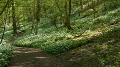 2019054ymd Wlk frm Ashford in the Water_0048 Great Shacklow Wood~Wild Garlic~Allium ursinum (paul_slp5252) Tags: derbyshire walking hiking whitepeak greatshacklowwood wildgarlic alliumursinum