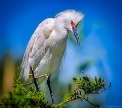 The Snowy Egret (Stuart Schaefer Photography) Tags: birdphotography florida wildlife sonyalpha sonya9 nature bird birds outdoors alligatorfarm egret staugustine snowyegret naturephotography