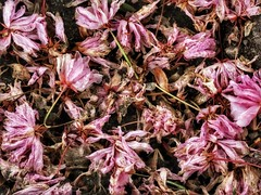 Spring, the Other Side (Robert Cowlishaw (Mertonian)) Tags: fallen mertonian robertcowlishaw pink blossoms spring2019 transitions delicate canon powershot sx70hs canonpowershotsx70hs lunchwalk downlooking