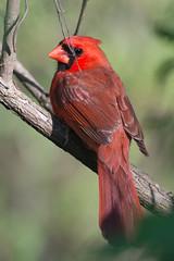 Northern Cardinal (gbarrow30305) Tags: northerncardinal cardinaliscardinalis cochranshoals chattahoocheeriver bird male wildlife