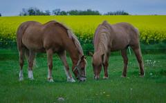 The green grass of home ... (frankmh) Tags: animal horse grass hittarp skåne sweden