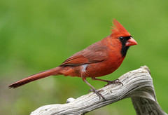 _A992702 (mbisgrove) Tags: bird a99ii a99m2 ontario cardinal canadian sony sal70400g2 red feathers northern
