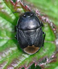 Sehirus luctuosus (lloyd177) Tags: sehirus luctuosus forgetmenot shieldbug dorset fontmell down