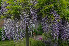 Wisteria in our garden (frankmh) Tags: tree wisteria garden hittarp skåne sweden