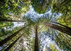 Looking Up 6 (Greg Adams Photography) Tags: redwood trees bark trunk green sky light giants towering park nature preserve peaceful serene amazing wilderness california northerncalifornia calif ca april 2019 spring roadtrip hhsc2000 travel