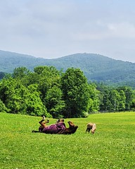 horse play (ekelly80) Tags: virginia shenandoah may2019 spring huntly glengordoninn countryside grounds walk green grass view horses fields hills mountains rolling happy