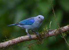 Blue-gray Tanager (anacm.silva) Tags: bluegraytanager tanager ave bird wild wildlife nature natureza naturaleza birds aves arenal bogarintrail costarica thraupisepiscopus
