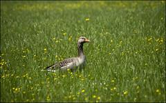 Greylag Goose (Craig 2112) Tags: greylag goose bird stowe national trust buckinghamshire anseranser
