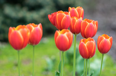 Time for Tulips #1 (tquist24) Tags: elkhart indiana nikon nikond5300 outdoor wellfieldbotanicalgardens bokeh color colorful flower flowers geotagged nature orange red spring tulip tulips