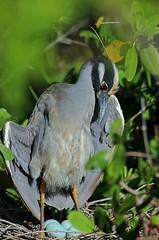 I'm Gonna Be a Dad (Michiale Schneider) Tags: yellowcrownednightheron bird nature dingdarlingwildliferefuge sanibelisland florida michialeschneiderphotography