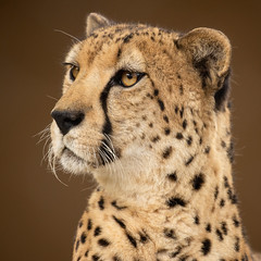 Bakka, the Noble Cheetah (Penny Hyde) Tags: animalambassador cat cheetah sandiegozoo