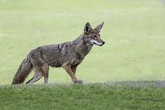 Coyote (Canis Latrans) (Alan Vernon.) Tags: california coyote southern canis latrans walking hunting prowl prowling female dog barking mammal canine animal