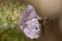 Syrphid Fly on Caterpillar Phacelia (Treebeard) Tags: syrphidfly syrphidae diptera stamen caterpillarphacelia phaceliacicutariavarhispida boraginaceae sanmarcospass santabarbaracounty california
