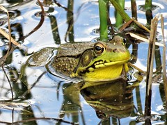 Frog  IMG_3357 (PRS North Star) Tags: frogs greenfrogs amphibians pondlife ponds reflections
