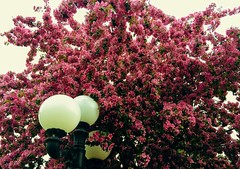 HTMT (Mr. Happy Face - Peace :)) Tags: blossoms htmt tuesday pink spring tree fairmount britishcolumbia lamppost sky art2019 riverside flower floral