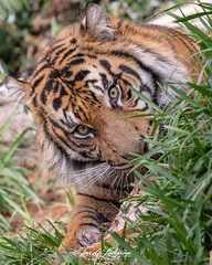 Rakan (ToddLahman) Tags: rakan tiger tigers tigertrail closeup sandiegozoosafaripark safaripark escondido eyelock exhibita portrait photooftheday profileheadshot photography photographer nikond500 nikonphotography nikon outdoors mammal male