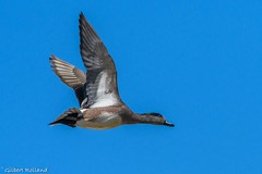 Canard d'Amérique mâle - Male American Wigeon - Anas americana (Gilbert Rolland) Tags: rouge canard d'amérique american wigeon