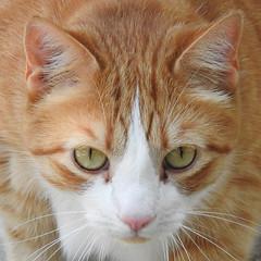 Orange and White Cat (annette.allor) Tags: cat chat feline orange white outdoors