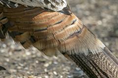 Wild turkey feathers (octothorpe enthusiast) Tags: lemoinepointconservationarea turkey feather bird kingston ontario