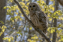 Barred owl (Strix varia) (octothorpe enthusiast) Tags: lemoinepointconservationarea barredowl strixvaria owl kingston ontario bird