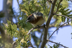 Bay-breasted warbler (Setophaga castanea) (octothorpe enthusiast) Tags: lemoinepointconservationarea setophagacastanea baybreastedwarbler bird kingston ontario