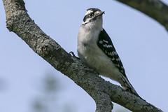 Downy woodpecker (Picoides pubescens) (octothorpe enthusiast) Tags: lemoinepointconservationarea picoidespubescens downywoodpecker kingston ontario bird woodpecker