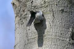 Downy woodpecker (Picoides pubescens) excavating a nest cavity (octothorpe enthusiast) Tags: lemoinepointconservationarea picoidespubescens downywoodpecker nesting nest kingston ontario bird