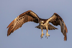 Osprey Takeoff (dbadair) Tags: outdoor blue sky nature wildlife 7dm2 7d ii ef100400mm canon florida bird bif flight