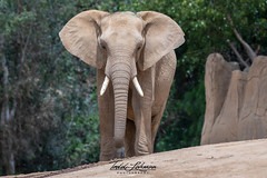 African Elephant (ToddLahman) Tags: africanelephant elephants escondido eyelock elephantvalley elephant closeup portrait photooftheday photography photographer nikond500 nikonphotography nikon outdoors mammal beautiful