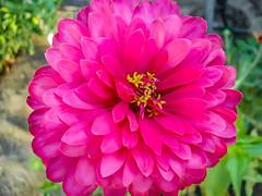Head Like A Zinnia (davidseibold) Tags: america bakersfield california colorpinkredpurple flower jfflickr kerncounty photosbydavid platoct postedonflickr unitedstates usa zinnia