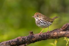 CA3I0521-Ovenbird (tfells) Tags: ovenbird warbler baldpatemountain nj newjersey bird nature wildlife seiurusaurocapilla