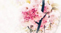 Bloom (JamesAnok    ThetaState) Tags: toronto ontario may 2019 flower bloom pink branches petals spring