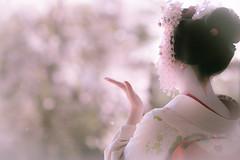 Maiko_20190409_121_19 (Maiko & Geiko) Tags: 20190409 myokenji temple kanohisa kyoto maiko 舞妓 妙顕寺 叶久 京都 叶家 kanoya ksumika