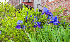 1381_1012FL (davidben33) Tags: brooklyn newyork crownheights streetphotos street photos trees bushes flowers flowering blooming blossoming irises architecture landscape cityscape houses buildings jewish people 718