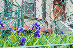 1381_0998FL (davidben33) Tags: brooklyn newyork crownheights streetphotos street photos trees bushes flowers flowering blooming blossoming irises architecture landscape cityscape houses buildings jewish people 718