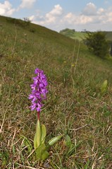 """Knabenkraut (Uli He - Fotofee) Tags: ulrike """"ulrike he"""" uli """"uli hergert"""" hergert nikon """"nikon d90"""" fotofee fotografie hobbie wanderung rhön """"hessische rhön"""" wasserkuppe pferdskopf eube guckaisee himmlisch wandern wolken himmelblau orchideen """"wilde orchideen"""" berge vulkan vulkane"""
