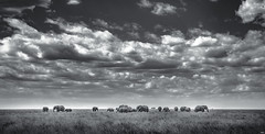 Family of African Elephants in Serengeti. Tanzania (juanjo_rueda) Tags: africa elephants safari serengeti landscape clouds blackandwhite bw light wildlife nationalgeographic natgeo animals nikon