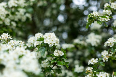 White (Future-Echoes) Tags: 4star 2019 blossom bokeh depthoffield dof flowers hawthorn white