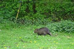 le ragondin en balade (mchub) Tags: nature ragondin verdure herbe mammifère sony hx400v