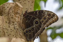 Butterfly (Daveoffshore) Tags: butterfly nature wing leaf colourful david ferguson daveoffshore photographer photo image copyrighted